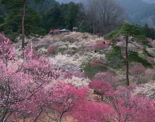 吉野梅郷の梅の写真素材 [FYI04026094]