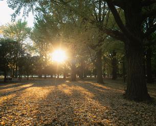代々木公園のイチョウの黄葉と夕日の写真素材 [FYI04026102]