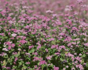 赤そばの花の写真素材 [FYI04026425]