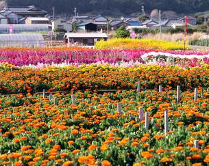 千倉の花畑の写真素材 [FYI04026508]