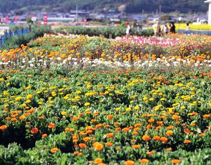 千倉の花畑の写真素材 [FYI04026509]
