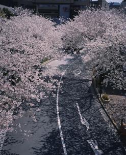 六本木アークヒルズの桜並木の写真素材 [FYI04026532]