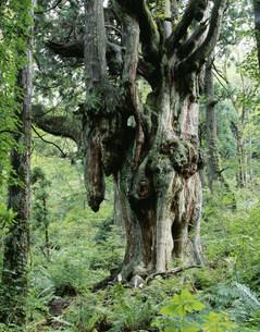 隠岐島後 岩倉の乳房杉の写真素材 [FYI04026705]