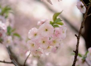 従二八重桜(ジュウニヤエザクラ)の写真素材 [FYI04026772]
