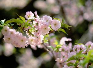 従二八重桜(ジュウニヤエザクラ)の写真素材 [FYI04026773]