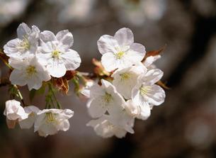 桜 御室有明(オムロアリアケ)の写真素材 [FYI04026781]