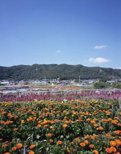 千倉の花畑の写真素材 [FYI04027056]
