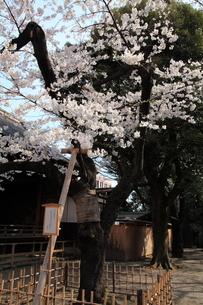 靖国神社 桜の標本木の写真素材 [FYI04027236]