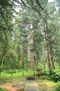 羽黒山 爺杉の写真素材 [FYI04027245]