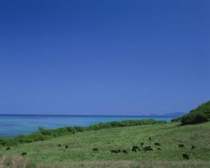 小浜島放牧風景の写真素材 [FYI04027341]