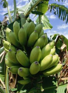 波照間島の島バナナの写真素材 [FYI04027395]