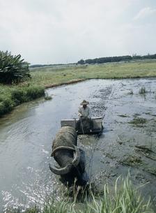 水牛で田を耕すおじいの写真素材 [FYI04027429]