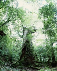 七本杉  白谷雲水峡の写真素材 [FYI04027466]