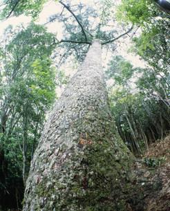 モミの木 四万十川源流の写真素材 [FYI04027469]