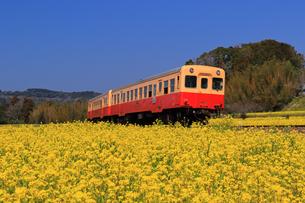 小湊鉄道と菜の花畑の写真素材 [FYI04027629]