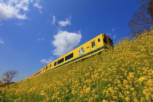 いすみ鉄道と菜の花の写真素材 [FYI04027646]