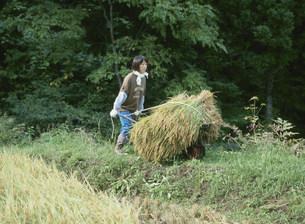 刈取った稲を運ぶ女性の写真素材 [FYI04027749]