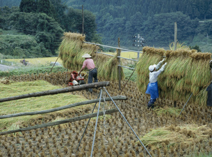 バインダーで稲刈後の稲架の写真素材 [FYI04027755]