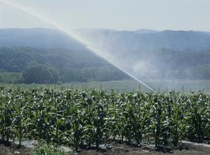 トウモロコシ畑散水の写真素材 [FYI04027780]