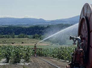 トウモロコシ畑散水の写真素材 [FYI04027782]