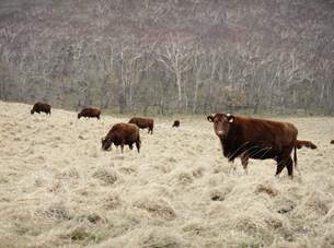 牛の写真素材 [FYI04027789]