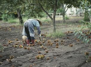 栗の収穫の写真素材 [FYI04027808]
