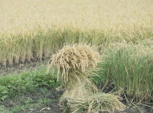 稲田の角の手刈りの写真素材 [FYI04027821]