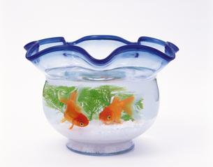 金魚と金魚鉢の写真素材 [FYI04028081]