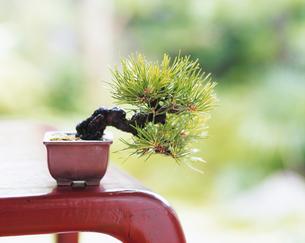 黒松の盆栽の写真素材 [FYI04028508]