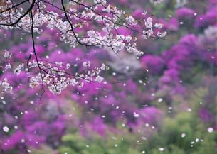 桜吹雪と山つつじの写真素材 [FYI04028688]