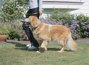 庭を歩く犬の写真素材 [FYI04028805]