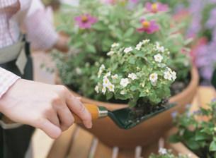 苗を植える女性の写真素材 [FYI04028873]