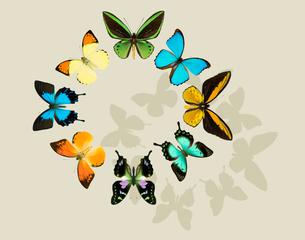 蝶の標本の写真素材 [FYI04028928]