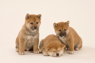 3匹の仔柴犬の写真素材 [FYI04029031]