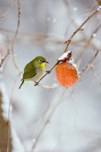 柿とメジロの写真素材 [FYI04029228]