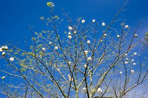 カッポクの木の実の写真素材 [FYI04029316]