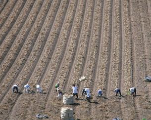 ジャガ芋の収穫の写真素材 [FYI04029409]