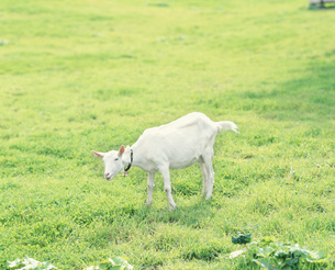 山羊の写真素材 [FYI04029413]