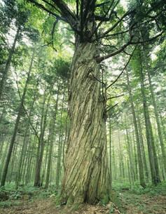 巨木百選クリの樹の写真素材 [FYI04029450]