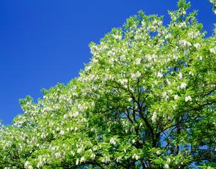 アカシアの花の写真素材 [FYI04029465]