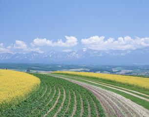 十勝岳とフラワーランドの菜の花の写真素材 [FYI04029493]
