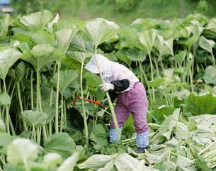 ラワンブキの収穫の写真素材 [FYI04029567]