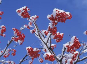 ナナカマドに雪の写真素材 [FYI04029569]