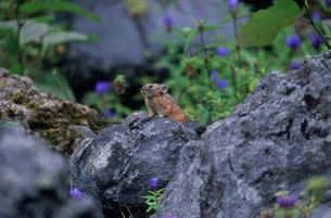 ナキウサギ 十勝岳の写真素材 [FYI04029601]