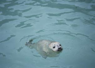 ゴマフアザラシの仔 旭山動物園の写真素材 [FYI04029612]