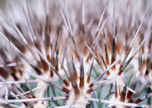 若いカルドンサボテンのトゲの写真素材 [FYI04029815]