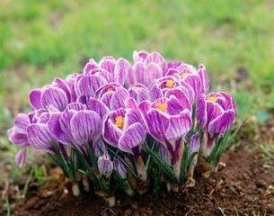 クロッカス 赤塚植物園の写真素材 [FYI04030357]