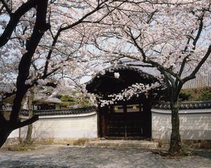 桜と伽藍 妙顕寺の写真素材 [FYI04030464]