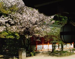 八重桜咲く境内 北野天満宮の写真素材 [FYI04030523]