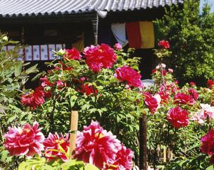 牡丹咲く境内 乙訓寺の写真素材 [FYI04030524]